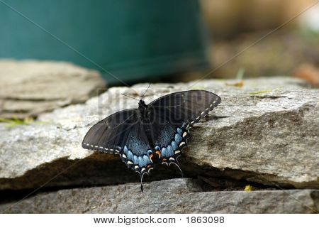 An Eastern Tiger Swallowtail female butterfly sits full winged on a grey rock drying her wings. Velvet black wings with vivid blue and orange designs and furry body of an Eastern Tiger Swallowtail on a gray stone garden wall. poster