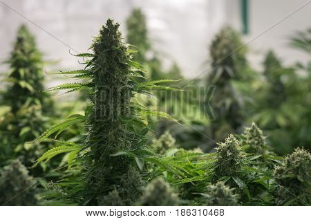 ripe juicy and the growing of cannabis flower in the garden buds cannabis