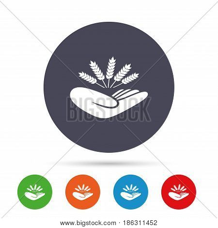 Agriculture insurance sign icon. Hand holds wheat. Protection against crop failure and drought. Round colourful buttons with flat icons. Vector