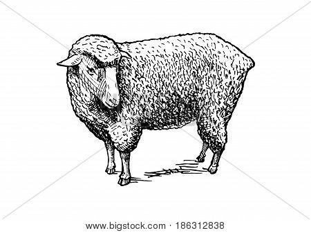Vector hand drawn illustration of sheep in vintage engraved style. isolated on white.