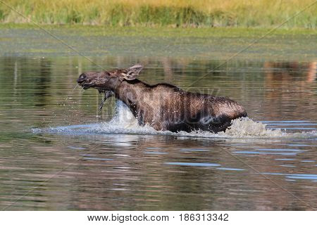 Shiras moose are wild animals in the Rocky Mountains of Colorado
