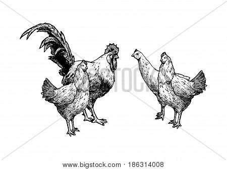 Vector hand drawn illustration of hens and in vintage engraved style. Black and white isolated on white.