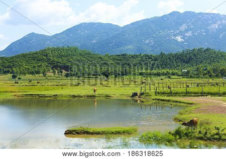 Vietnam. Cow grazing on a green field. Landscape
