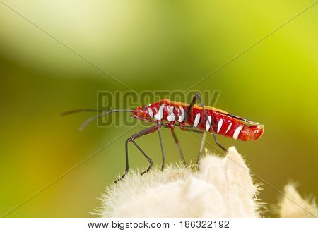 Red firebug on flower with green background