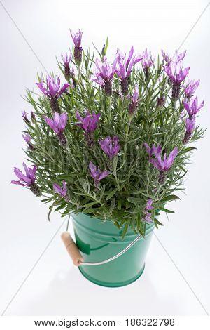 Lavandula stoechas, Spanish lavender, in green bucket