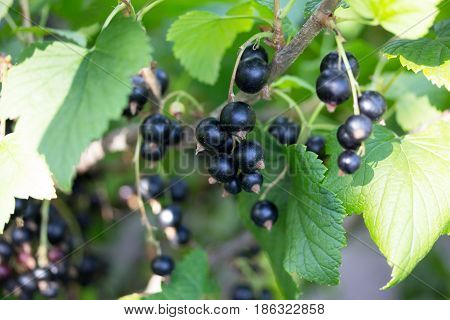 Ripe Black Currant On The Plantation Of Currant In The Garden In The Open Air.