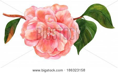 Vintage style watercolor drawing of a tender pink camellia flower in bloom, on a branch with green leaves, isolated on white background, a decorative element for a greeting card or wedding invitation
