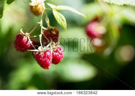 Ripe Red Raspberries On The Raspberry Plantation In The Garden In The Open Air.
