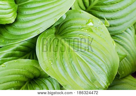 Water drops of hosta leaf close up