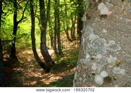 texture bark and grove of Nebrodi Park, Sicily