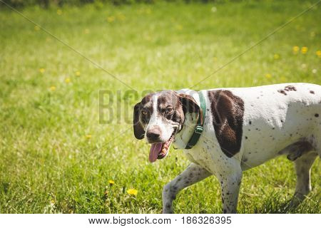 Panting German Shorthaired Pointer