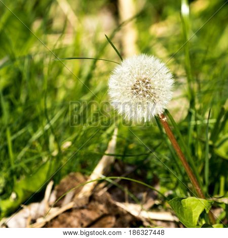 Nice white lonely dry dandelion in the green grass