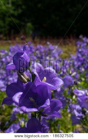 Beautiful violet bellflowers romantic country full of flowers