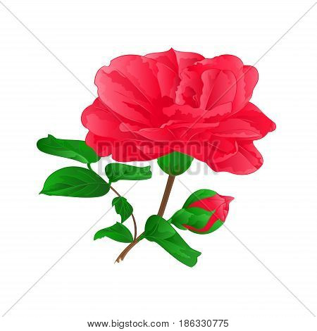Flower Camellia Japonica with buds vintage hand draw vector illustration