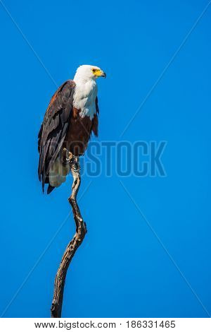 The concept of extreme and exotic tourism. Chobe National Park on the Zambezi River, Botswana.  African fish eagle on the background of bright blue sky