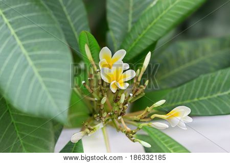 Blossoming of mango tree Mango flower consists of 5 petals of white on the edges and yellow at the center of the helical shape