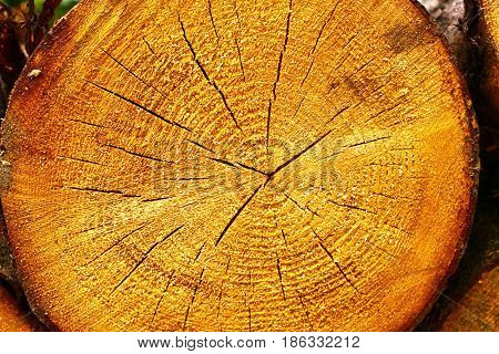 Tree texture background. Cross section of a tree stump