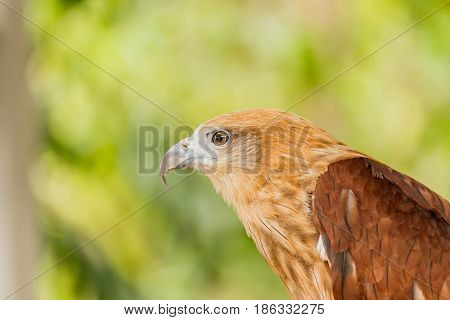 Close up portrait of a red tailed hawk .