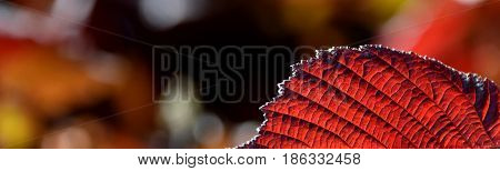 Close up of a leaf of a red beech tree