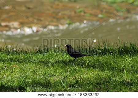 European blackbird/ The European blackbird nearby river.
