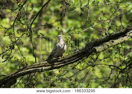 Turtle dove/ This is a turtle dove on branch of tree.