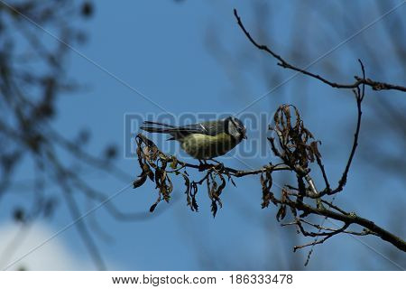 Titmouse/ Small titmouse on branch in spring.