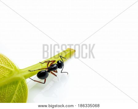 Close-up image of single worker Polyrhachis laevissima ant on green leaf isolate on white background with copy space