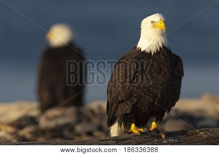 Bald Eagle On Log With Eagle Out Of Focus In Background