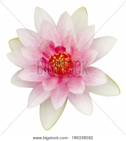 Pink waterlily flower isolated on white background