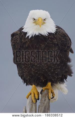 Alaskan Bald Eagle on log with blue background