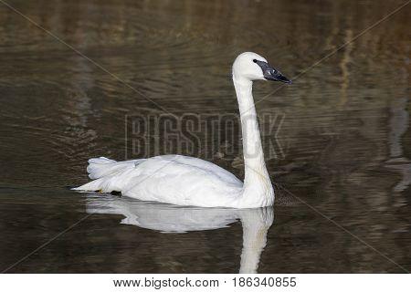 Trumpeter swan swimming in brown water pond