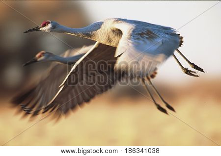 Sandhill Cranes Flying With Blue Sky And Mountains In Background