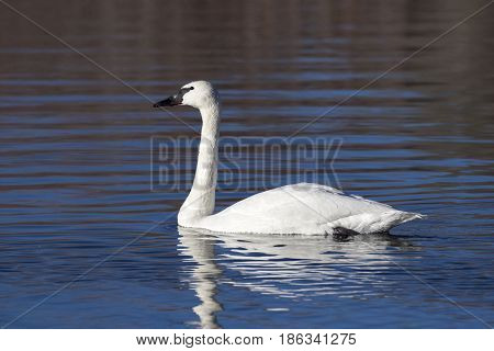 Trumpeter swan swimming in blue water pond