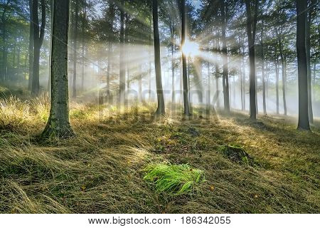 Morning beech forest with fog in the background