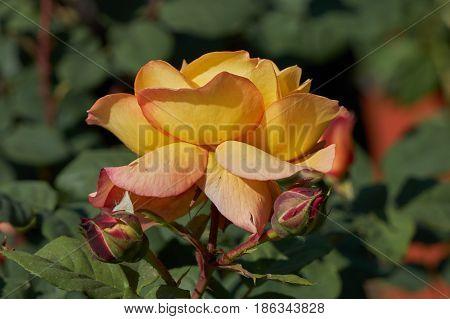 Rose In Bloom In The Garden