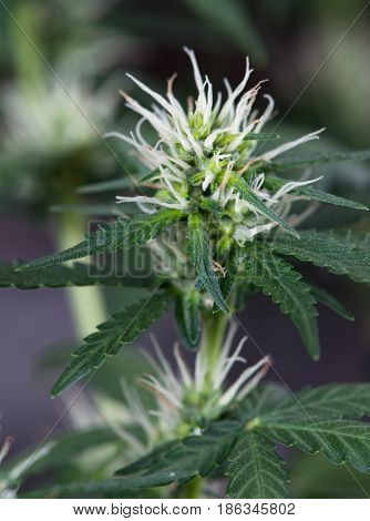 Female Marijuana Cannabis Indica Plant in Flowering Stage