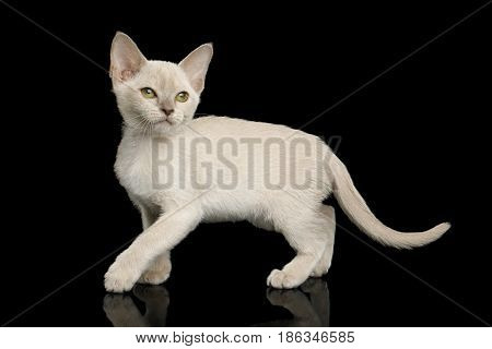 Playful White Burmese Kitten with green eyes on Isolated Black Background, side view