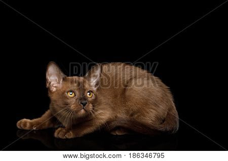 Playful Burmese Kitten with yellow eyes sable fur on Isolated Black Background, side view
