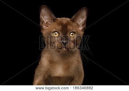 Portrait of Burmese Kitten with yellow eyes sable fur on Isolated Black Background, front view