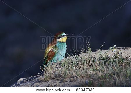 European bee-eater resting on the ground in its habitat