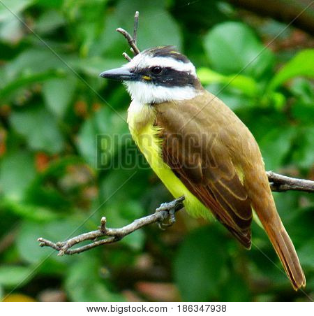 Pitangus sulphuratus. Quitupi bird clinging to a tree branch. Foreground of a birdie. Bird with its chest colored yellow close up. Its head is colored horizontaly black and white and his back light-brown. Its peak is black. This bird is distributed all ov