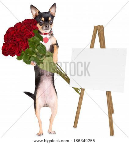 Cute dog chihuahua gives roses for a gift