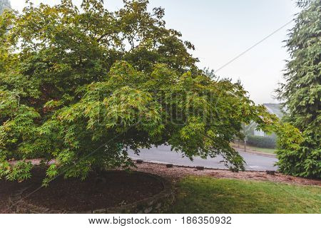 Sprawling Tree In A Planter By Road