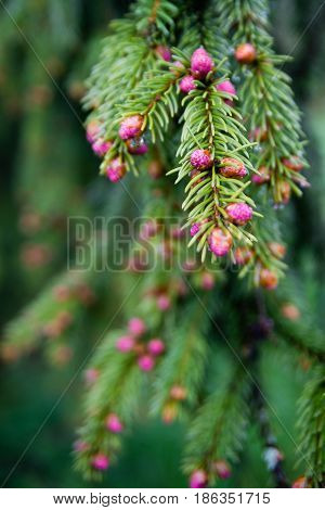 Young branch of spruce tree with conifer cones focused on single pink beutiful new coneHigh Tatras Slovakia Poland