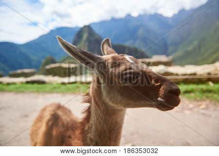 Cute Brown Baby Lama