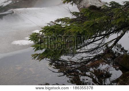 young green fir-tree branches in the mountains of the high Tatras in Zakopane Poland.