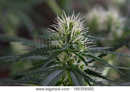Early Flowering of Female Marijuana Cannabis Pot Plant