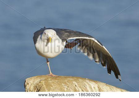 Western Gull, Larus Occidentalis