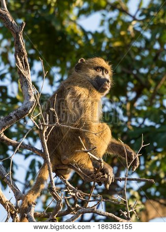 Portrait of young African savannah baboon sitting in branch of a tree on sunny day, Chobe NP, Botswana, Africa.