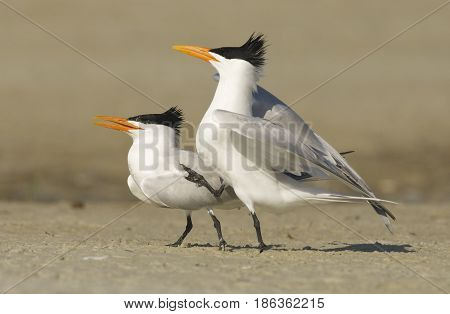Royal Tern Sterna maxima on beach with pre-mating dance or display